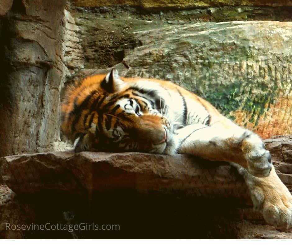Image of a sleeping tiger by rosevinecottagegirls.com
