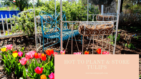 how to plant and store tulips