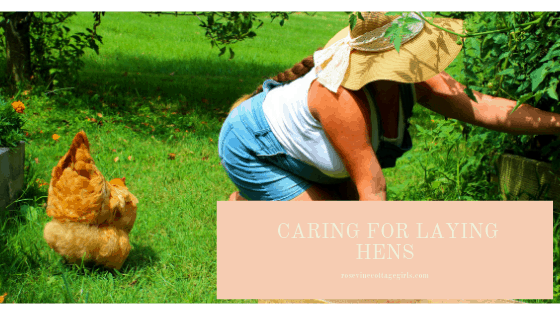 caring for laying hens