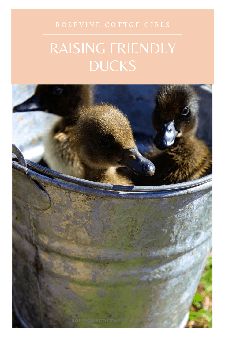 raising friendly ducks, keeping ducks, raising ducklings, by Rosevine Cottage Girls