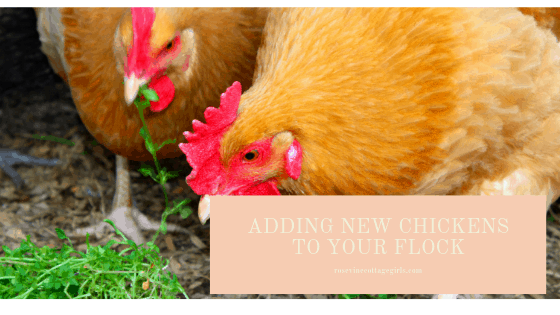 Adding chickens to your existing flock