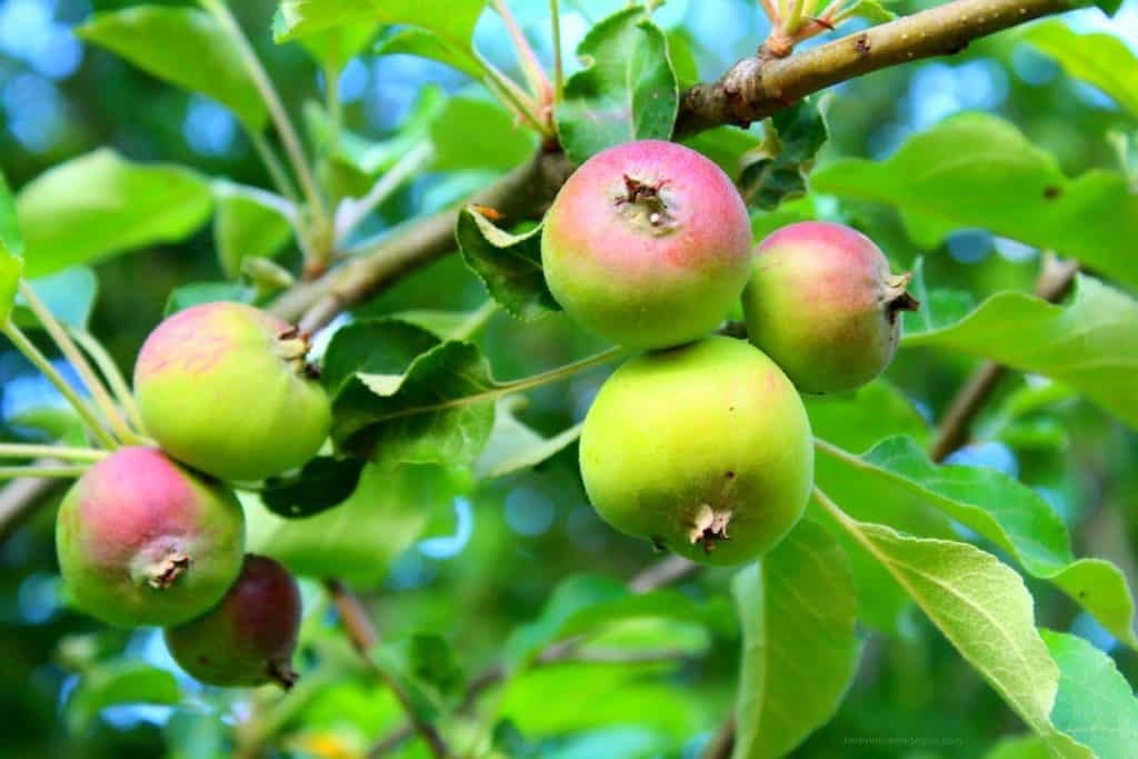 How to thin apples, thinning apple trees, do i have to thin apple trees, ways to thin apple trees, organic ways to thin apple trees by rosevine cottage girls