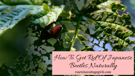 how to get rid of Japanese Beetles Naturally