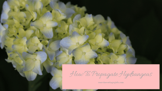 how to propagate hydrangea