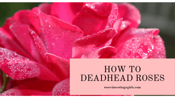 how to deadhead roses