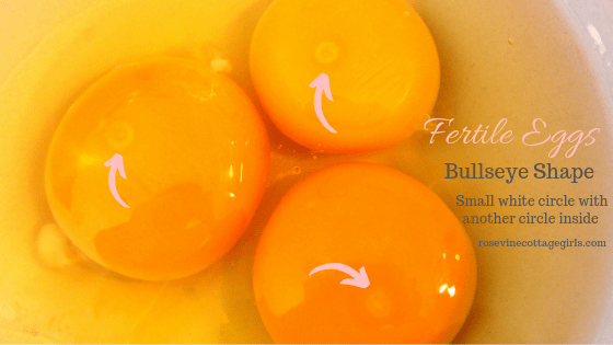 "Fertile chicken eggs with a ""bullseye"""