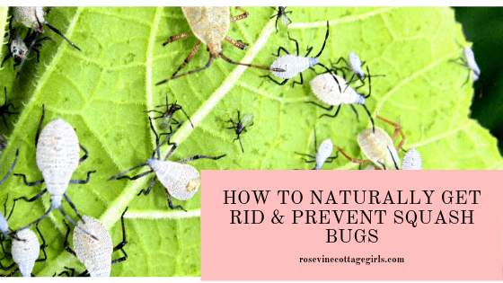 how to identify and naturally get rid of squash bugs and prevent them from attacking your garden