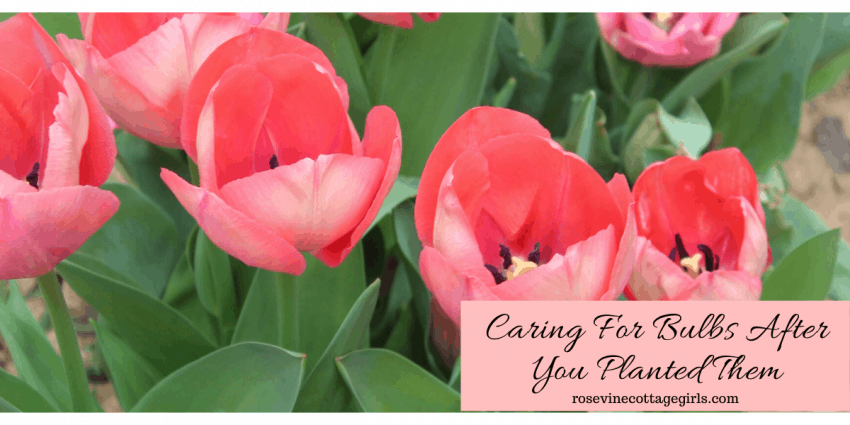 How to take care of bulbs after they are planted