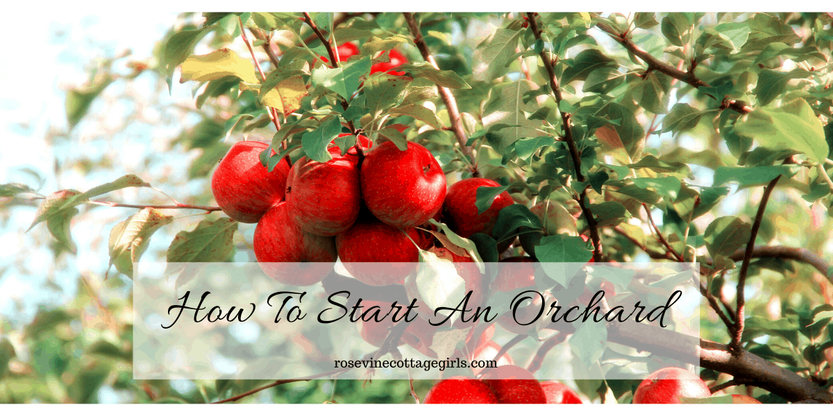 Everything you need to know about starting and orchard and growing your own fruit #rosevinecottagegirls