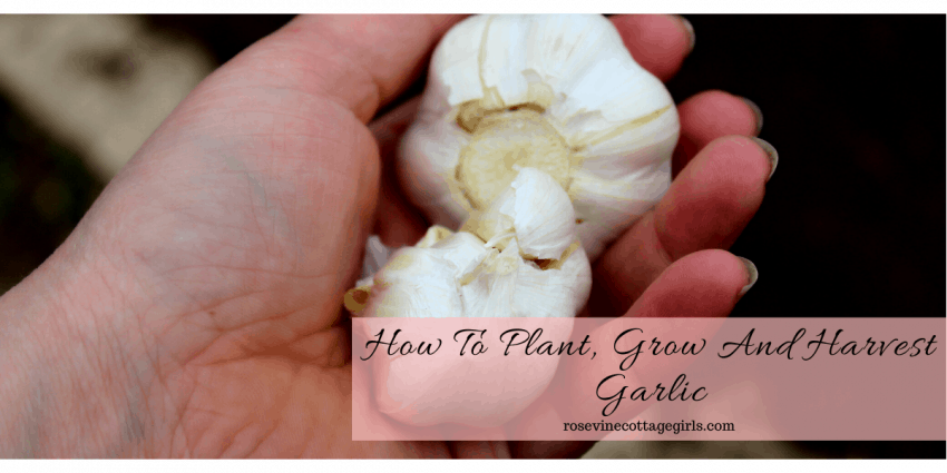 how to plant grow and harvest garlic