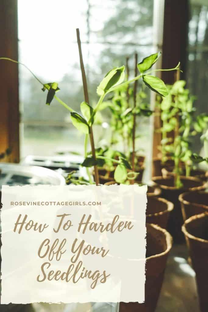 How to harden off your seedlings before planting them in the garden #rosevinecottagegirls