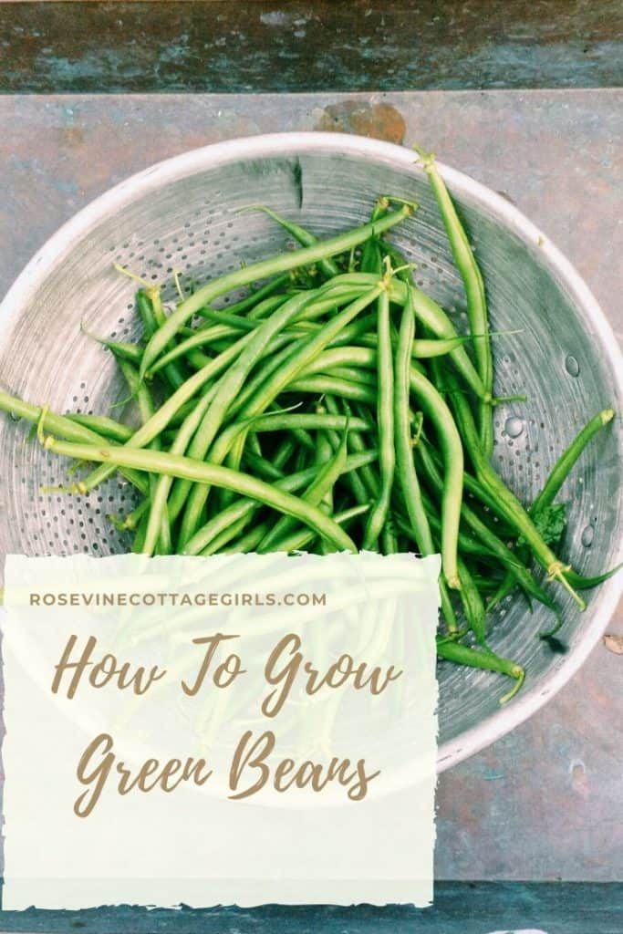 How to grow green beans in your back yard garden the beginner's guide to gardening