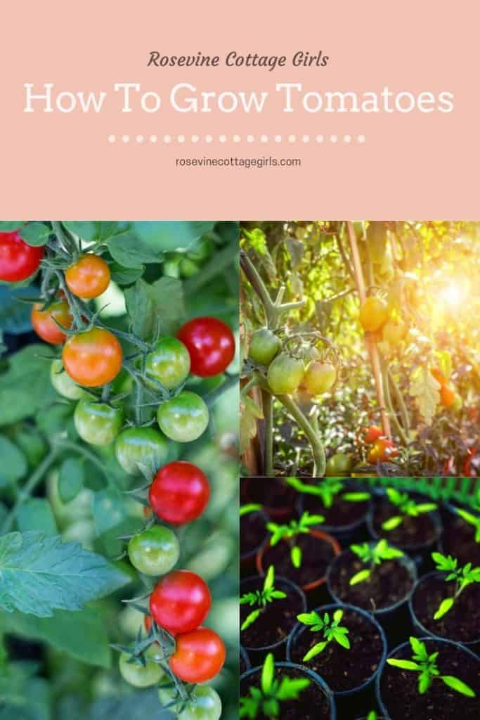 How to grow tomatoes in a backyard garden for beginners. Planting, watering and tips and tricks for growing tomatoes successfully! #rosevinecottagegirls