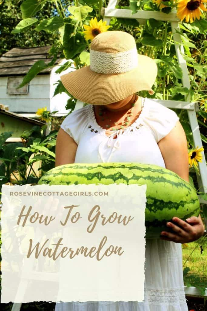 How to grow watermelon, growing watermelon in your backyard garden. Woman in white dress and sun hat in front of sunflowers holding a large watermelon #rosevinecottagegirls