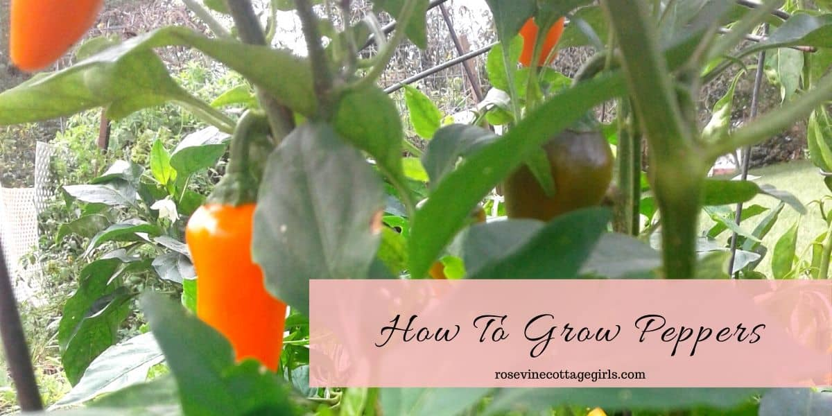 Pepper plant | How to grow peppers