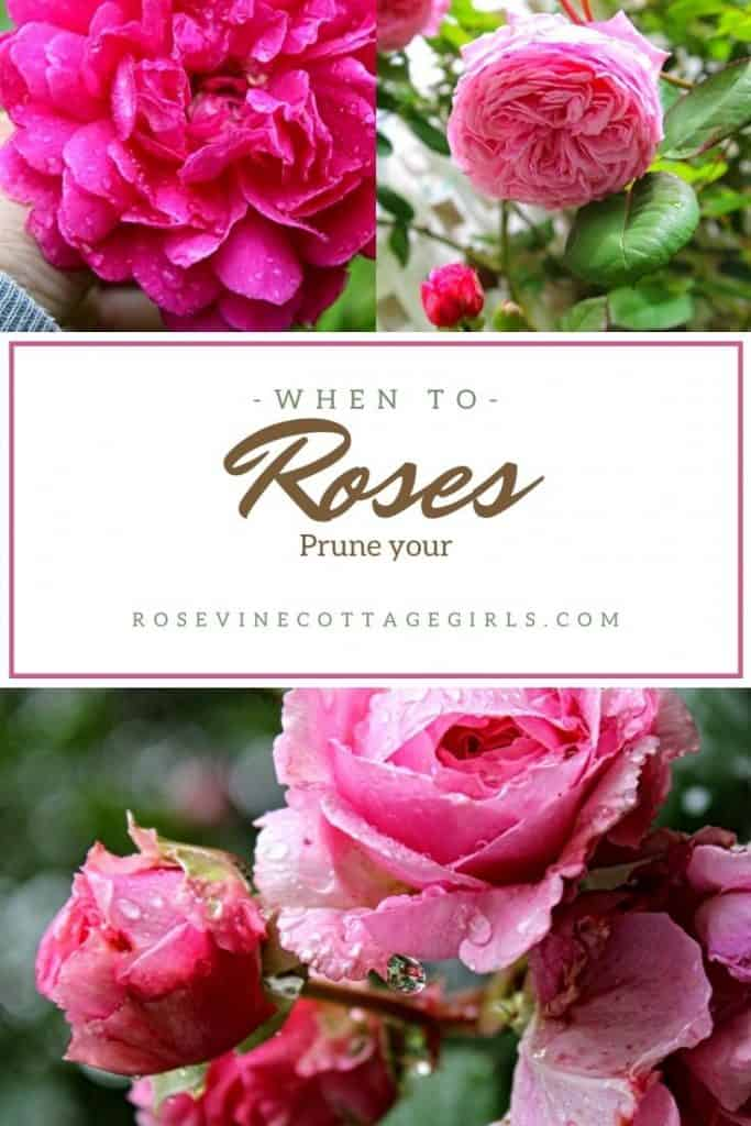pink roses | When to prune roses, tips for pruning roses in every season