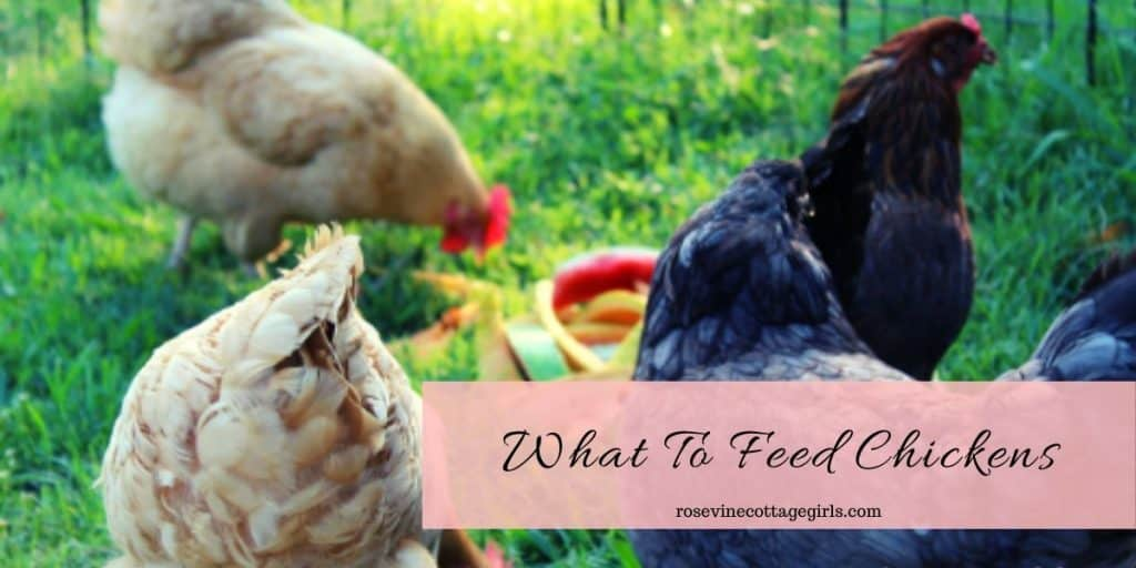 Chickens foraging | What to feed chickens