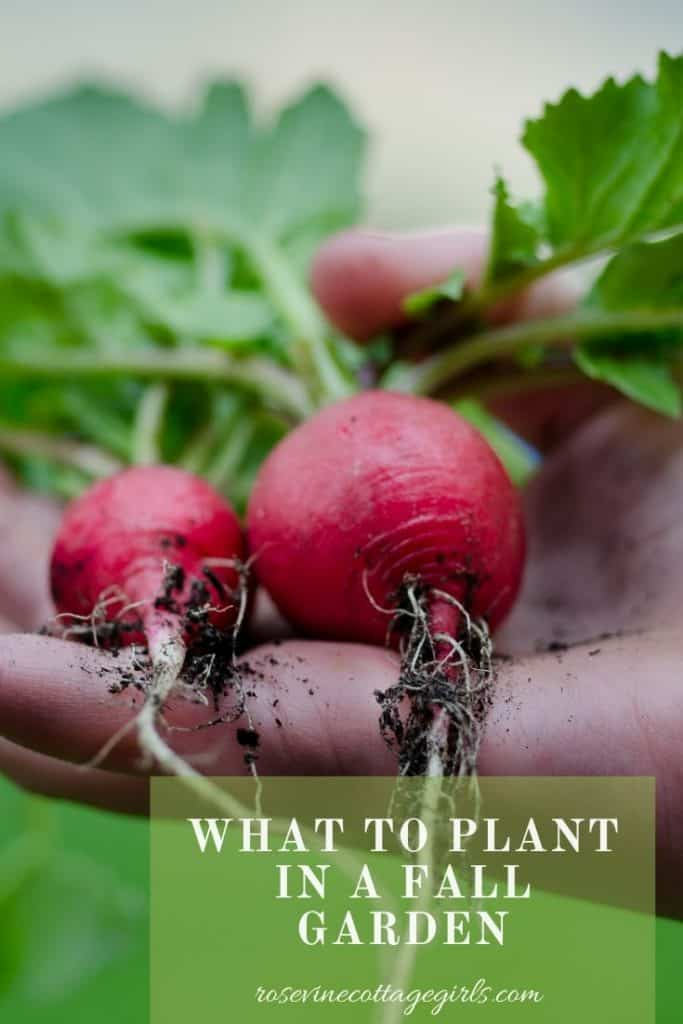 radish held in a hand | what to plant in the fall