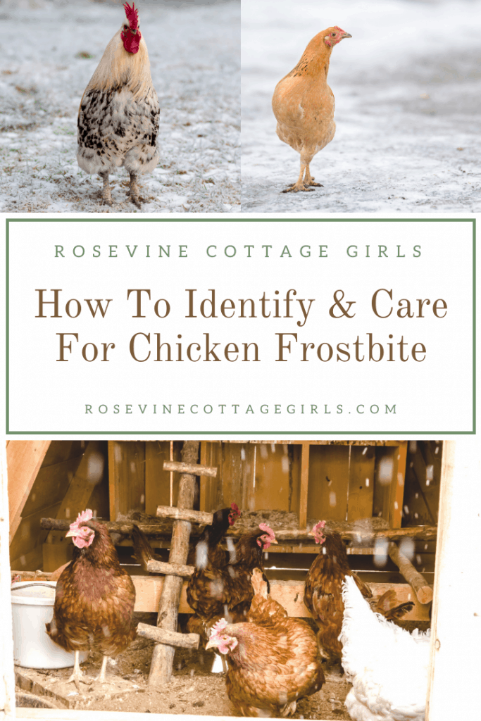 Chickens in the snow | How To Identify And Care For Chicken Frostbite this winter #rosevinecottagegirls