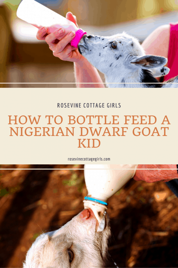 bottle feeding goats | How To Bottle Feed A Nigerian Dwarf Goat Kid
