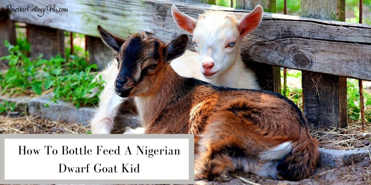 Two nigerian dwarf goat kids