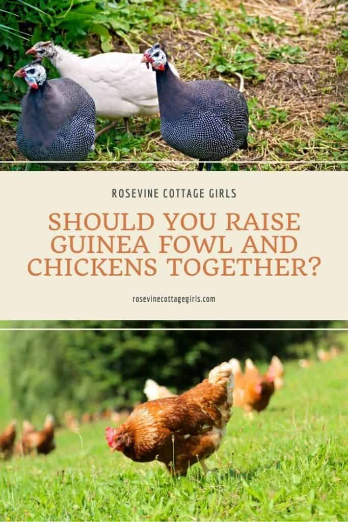 Guinea fowl and chickens in field | Should You Raise Guinea Fowl And Chickens Together?