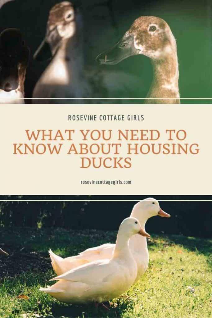 Ducks walking | Duck Coop: The Beginner's Guide To Housing Ducks