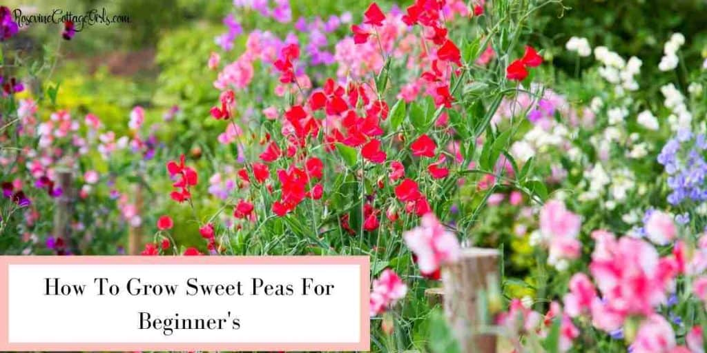 Sweet peas growing   how to grow sweet peas