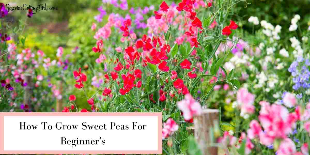 Sweet peas growing | how to grow sweet peas