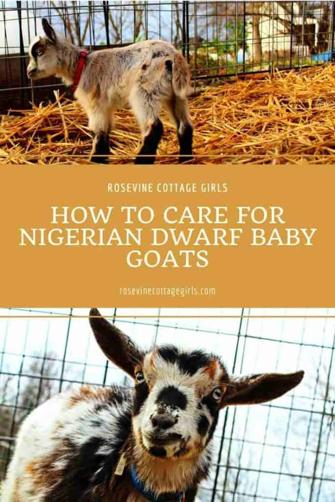 Baby goats outside | Caring For Nigerian Dwarf Baby Goats