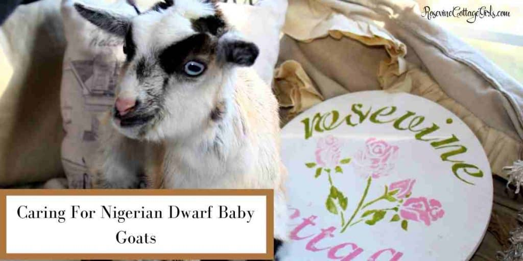 Baby goat on a window seat | Caring for Nigerian Dwarf baby goats