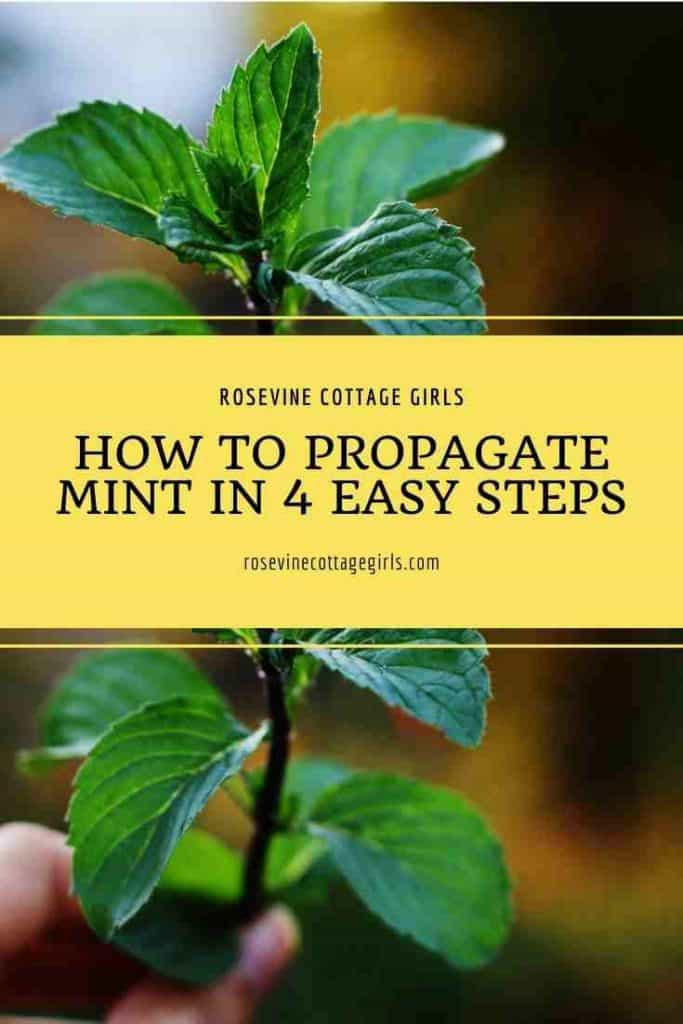 Fingers holding mint | How To Propagate Mint In 4 Easy Steps