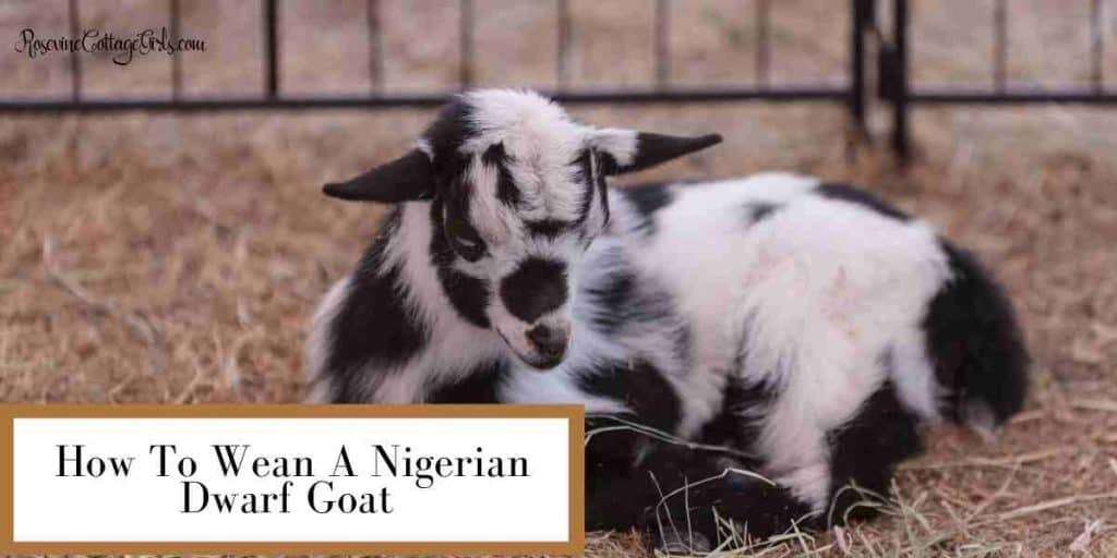 baby goat laying down | How To Wean A Nigerian Dwarf Goat