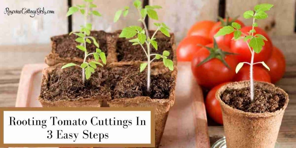 Tomatoes in peat pots